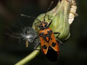 Chinche: Miridae