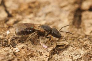 Tipos de avispas parasitoides