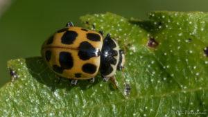 Mariquita o Coccinellidae