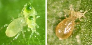 Ácaros benéficos usados en el control biológico