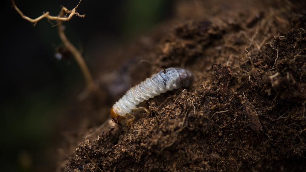Larva de gallina ciega