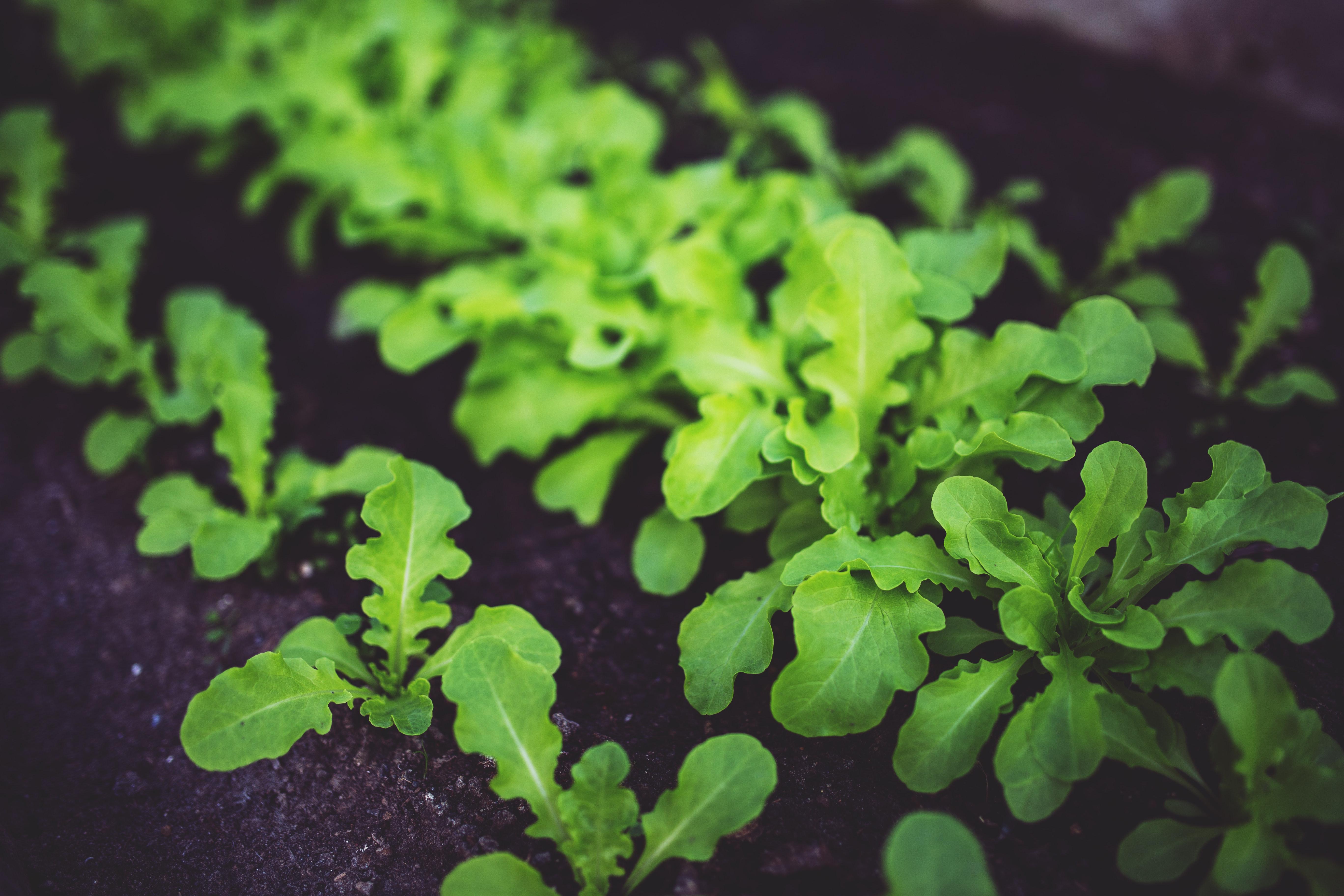 Zinc en plantas