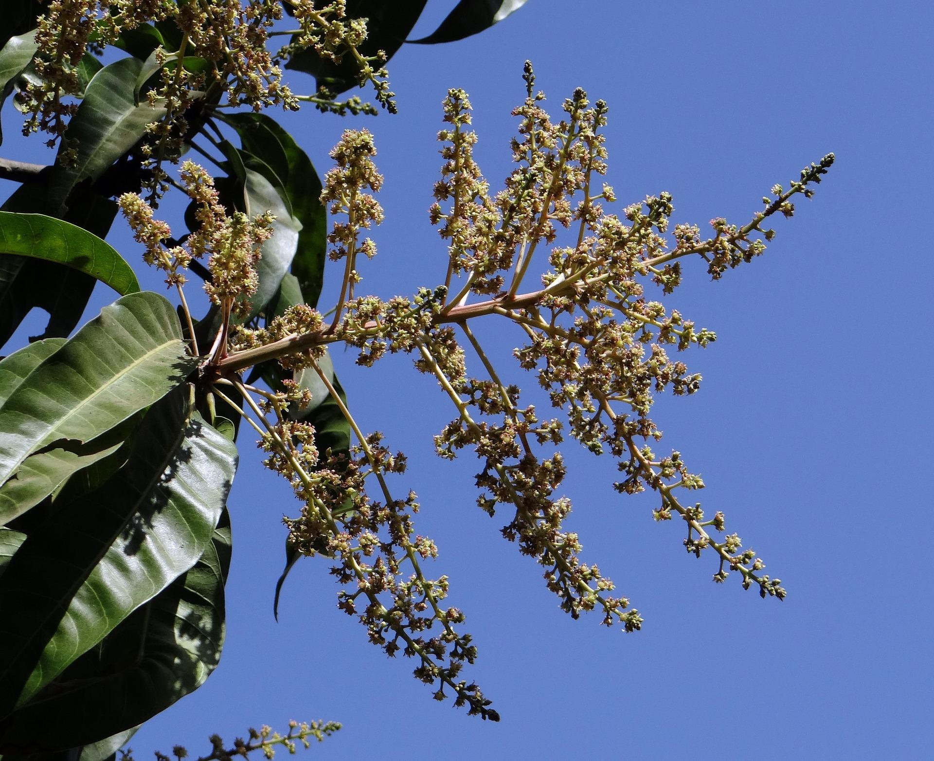 Floración de mango
