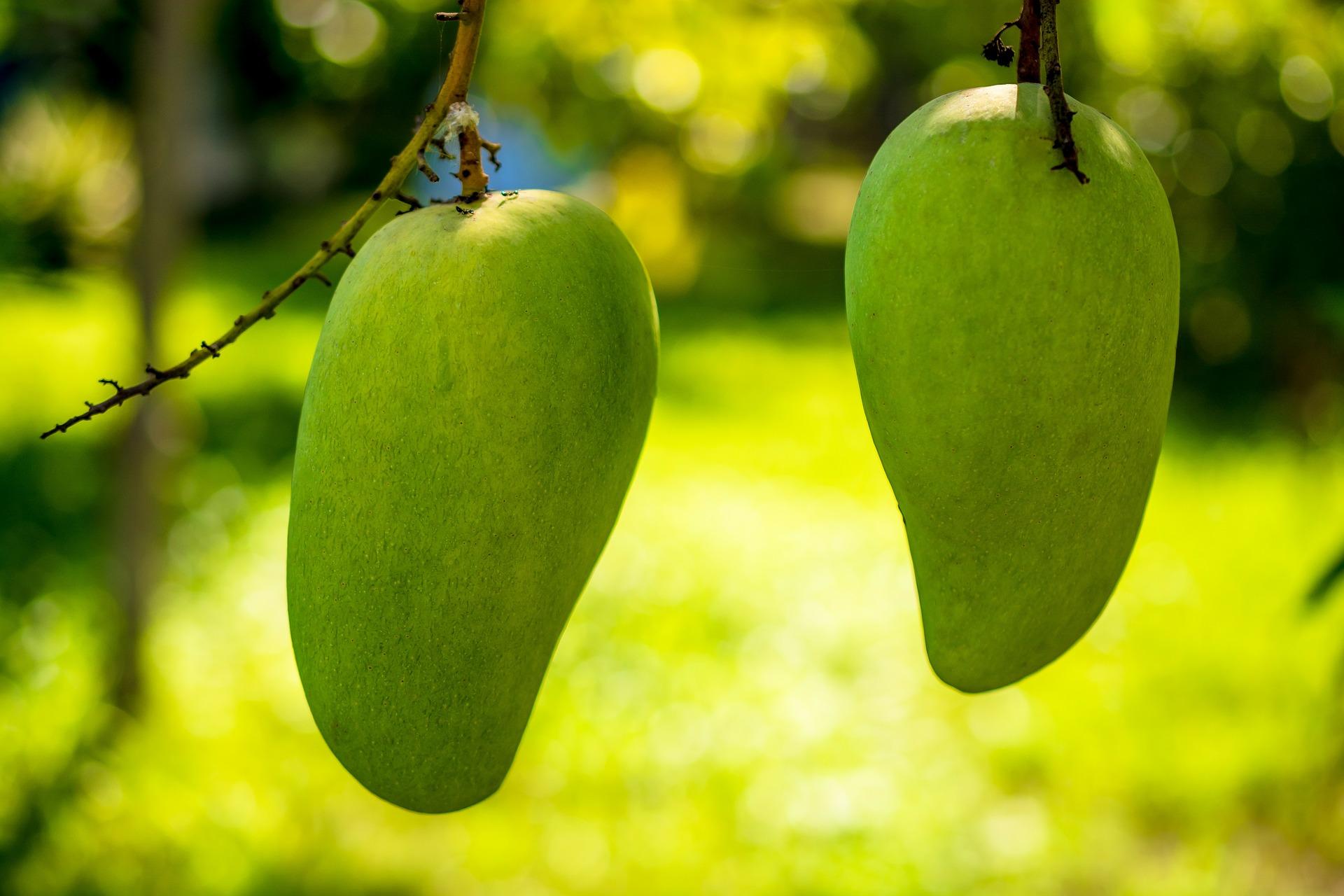 El cultivo de mango manila