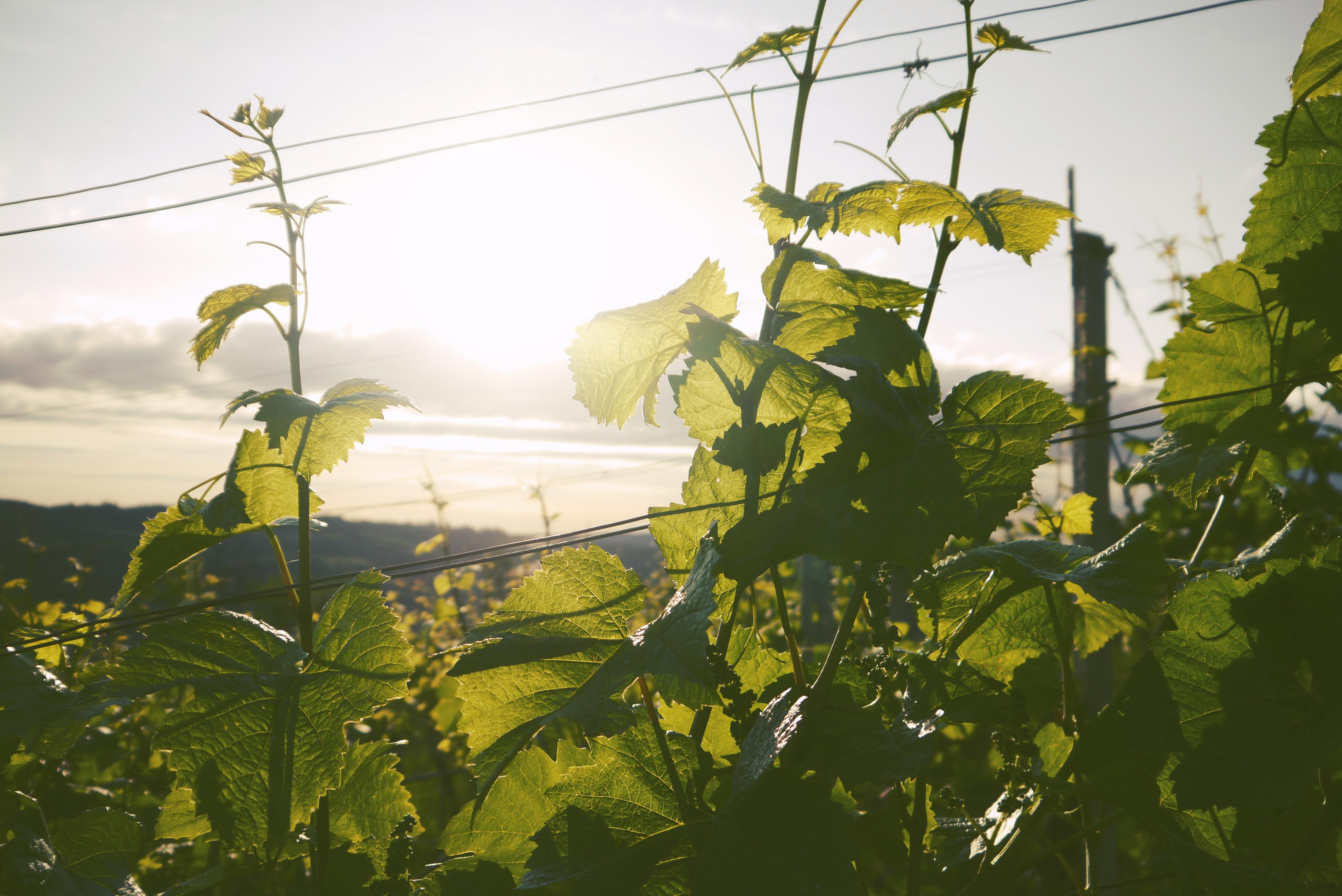 Fitoalexinas en las plantas
