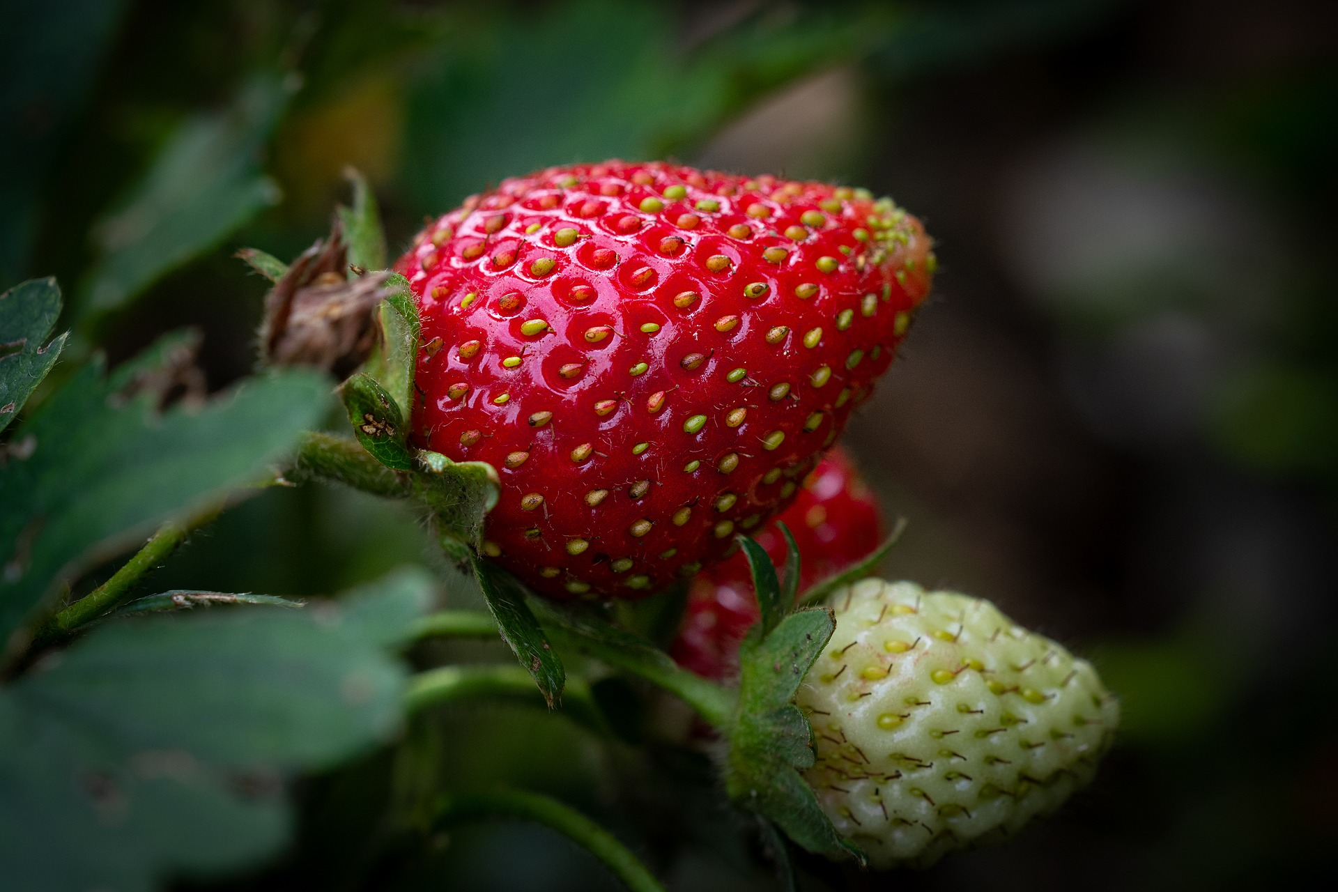 Niveles de referencia foliar en fresa