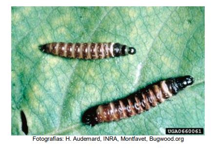 Larva de barrenador del tallo del durazno (Anarsia lineatella)