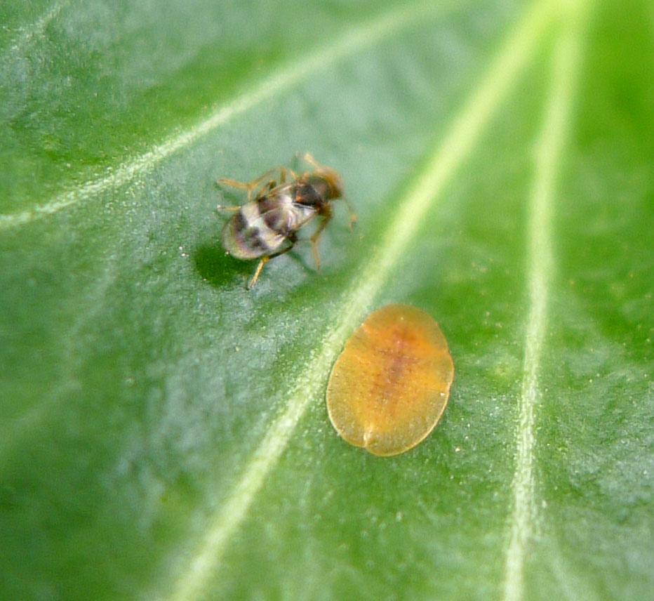 Escama blanda (Coccus hesperidum)
