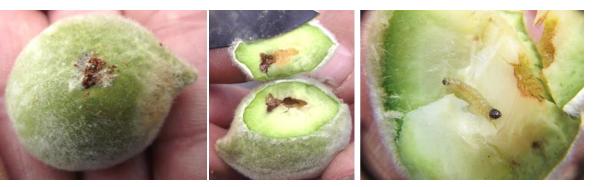 Daños de la polilla oriental de las frutas
