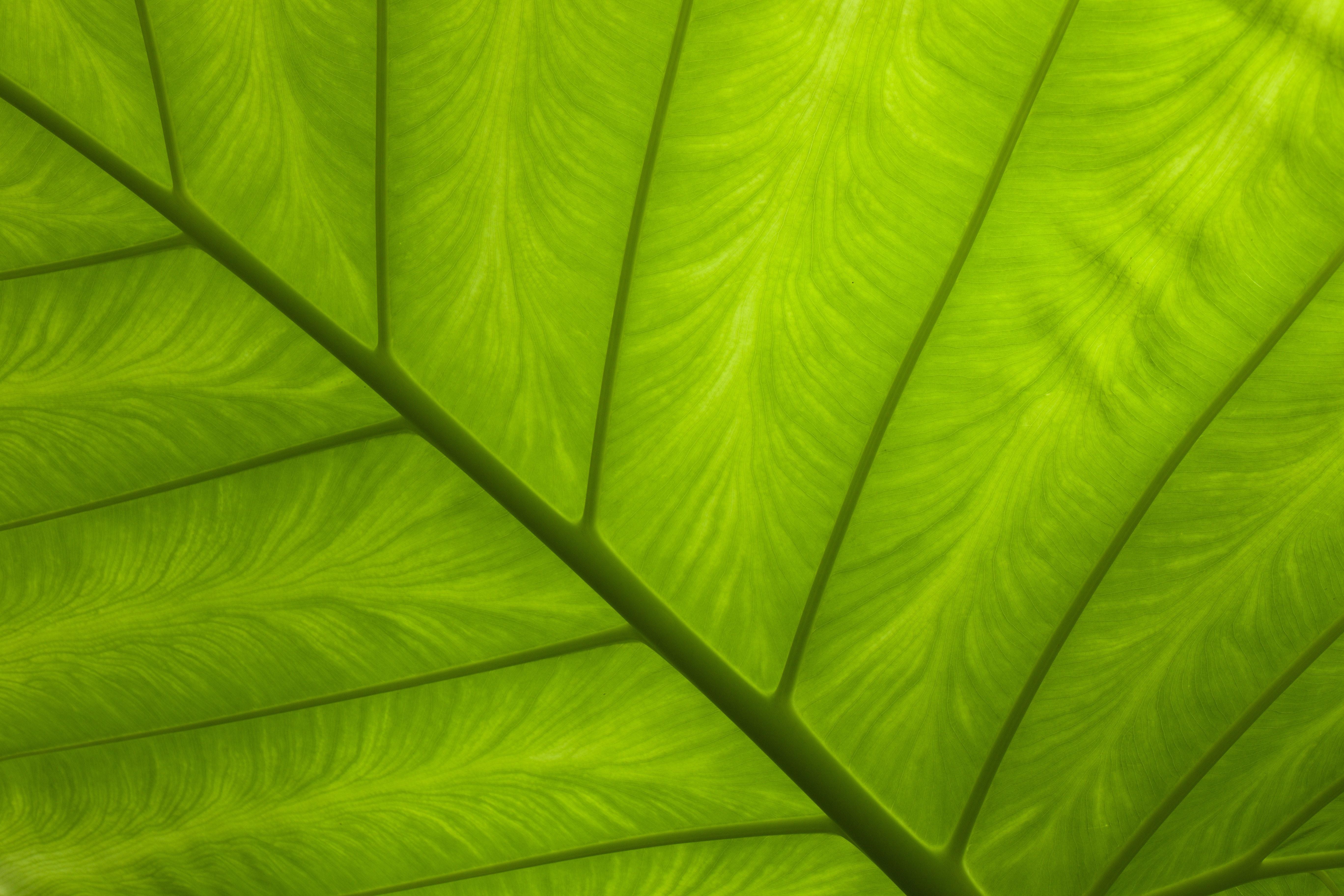 Síntomas de deficiencia de manganeso en las plantas