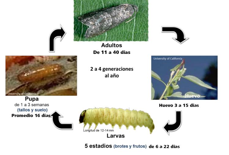 ciclo biológico graphorita molesta