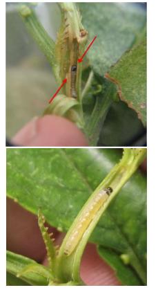 Larva de Graphorita molesta