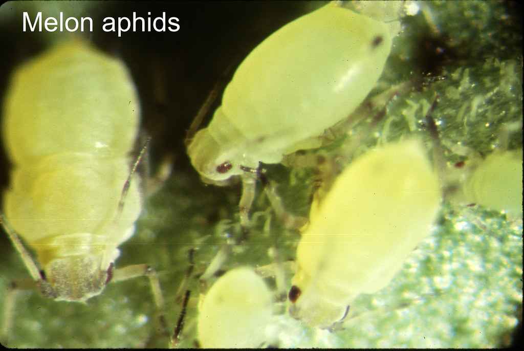 El pulgón del algodón (Aphis gossypii)