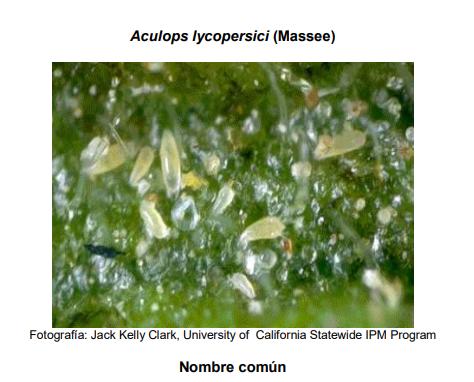 Acaro del bronceado del tomate (Aculops lycopersici)