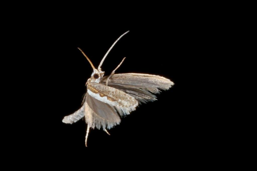 Plutella xylostella es un lepidoptero que se alimenta de brócoli, coliflor y col