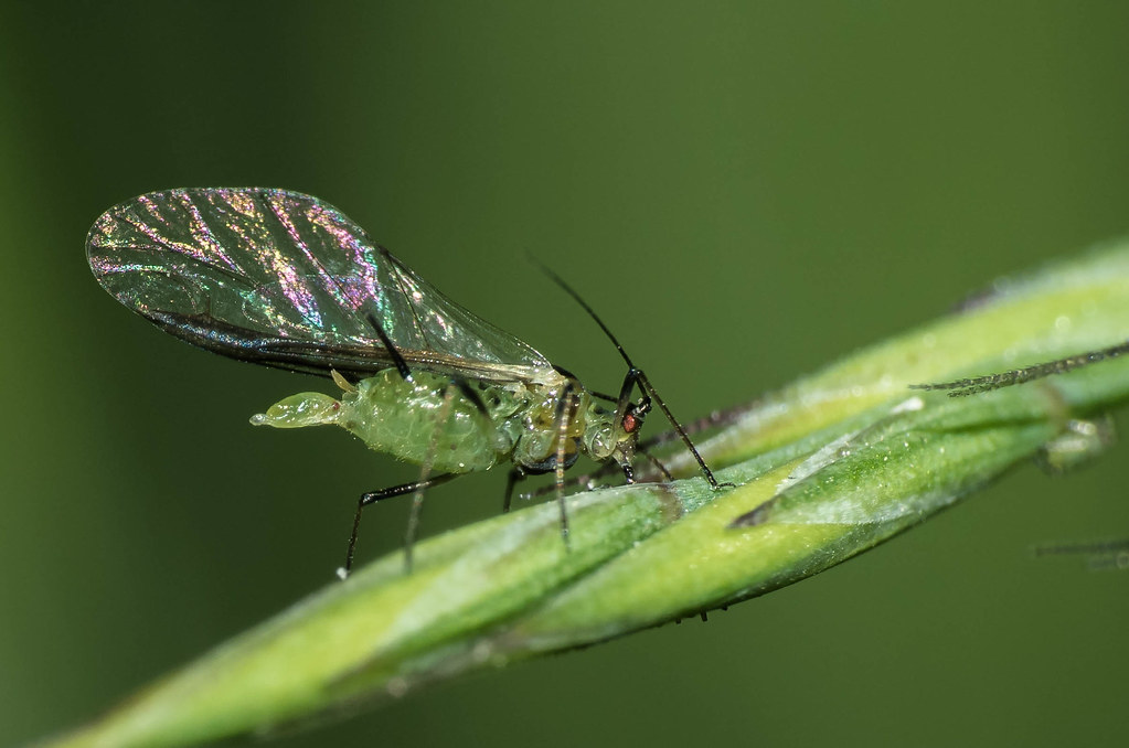 Pulgón verde o pulgón del chícharo Acyrthosiphon pisum