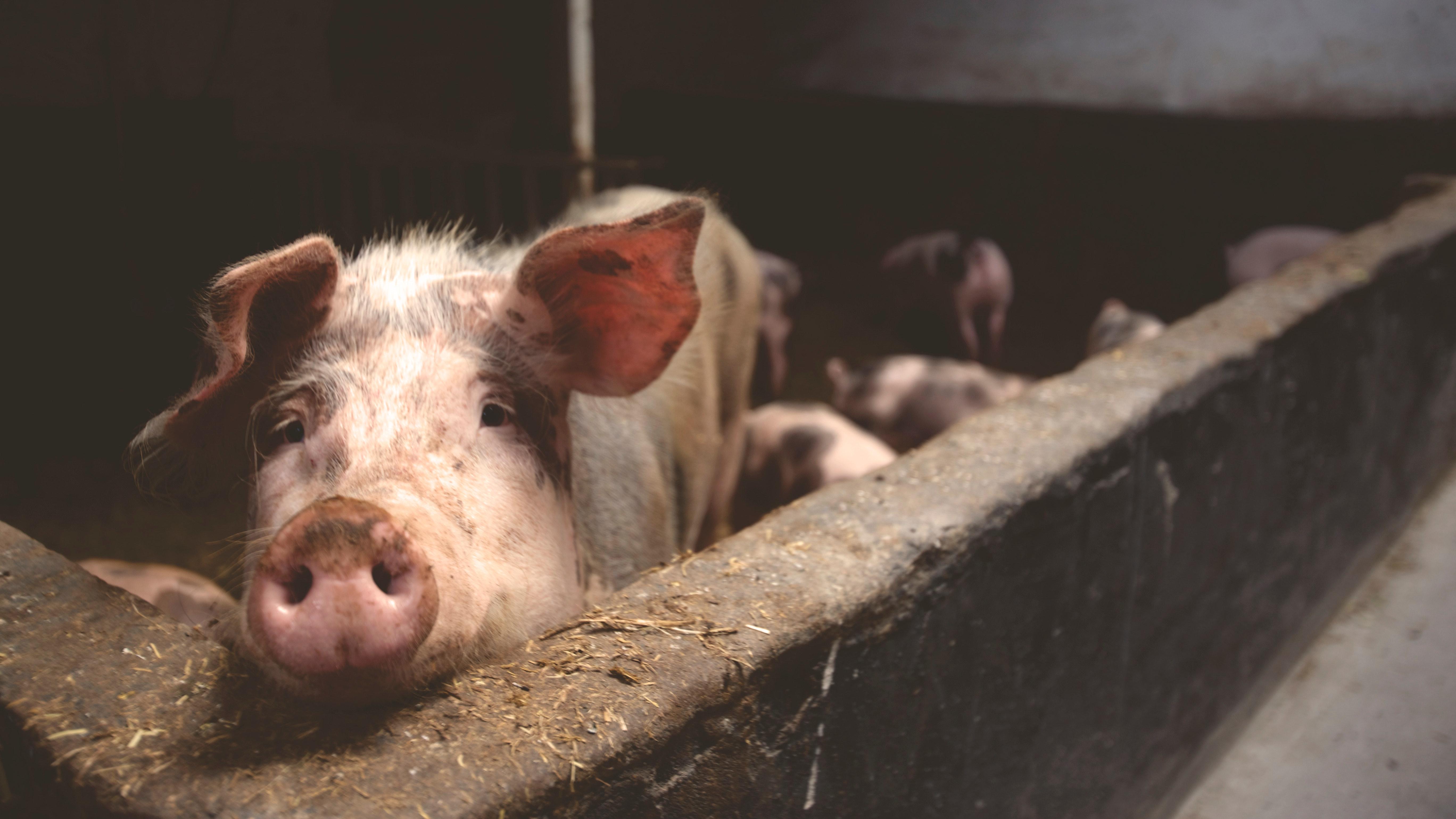 Ganadería en México: Producción porcina