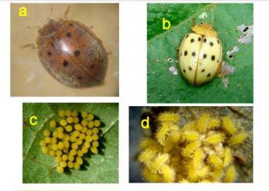 Adulto de Epilachna varivestis