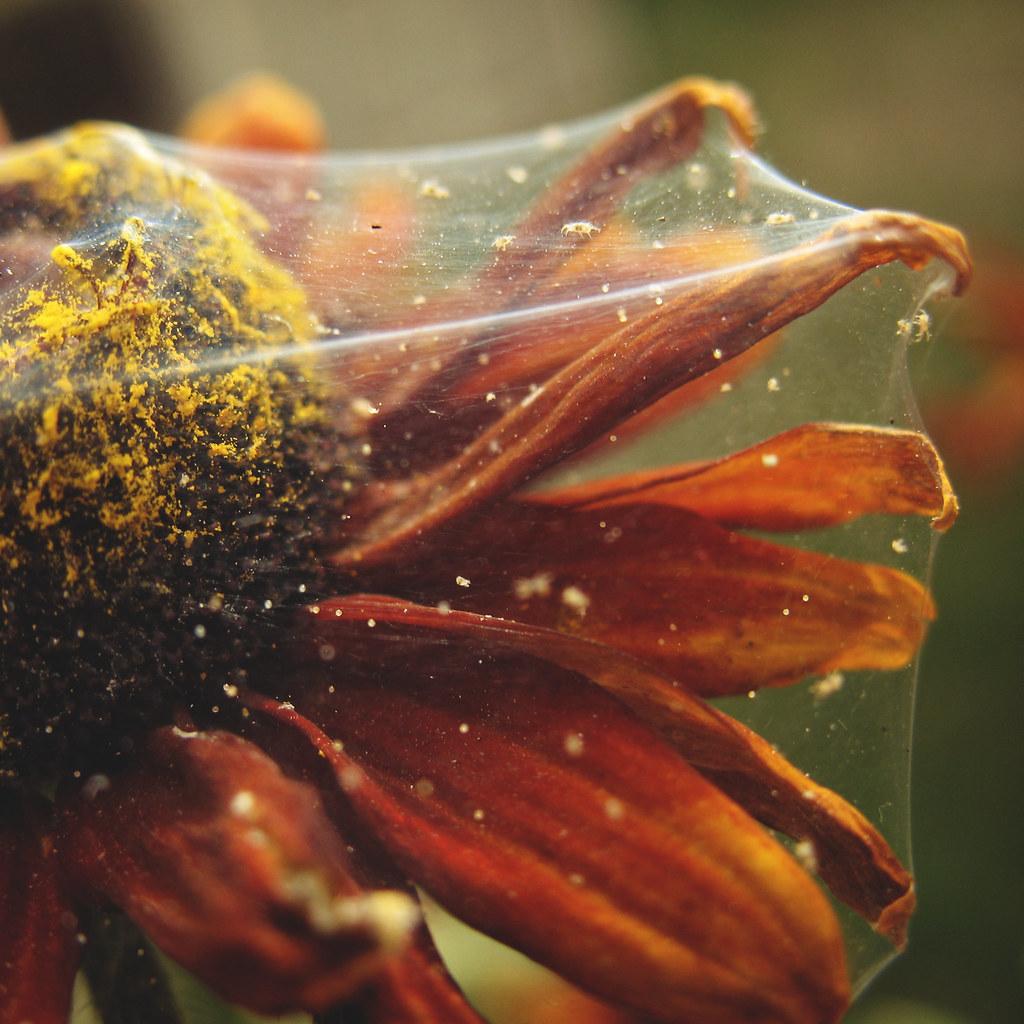Telarañas de araña roja (Tetranychus urticae)