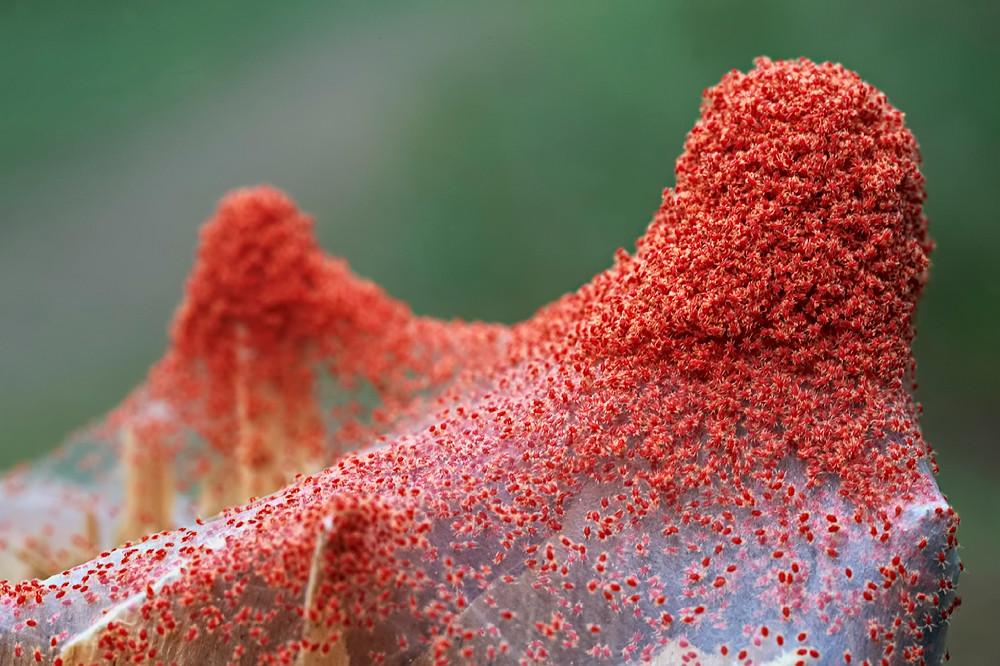 Infestación de Tetranychus urticae o araña roja