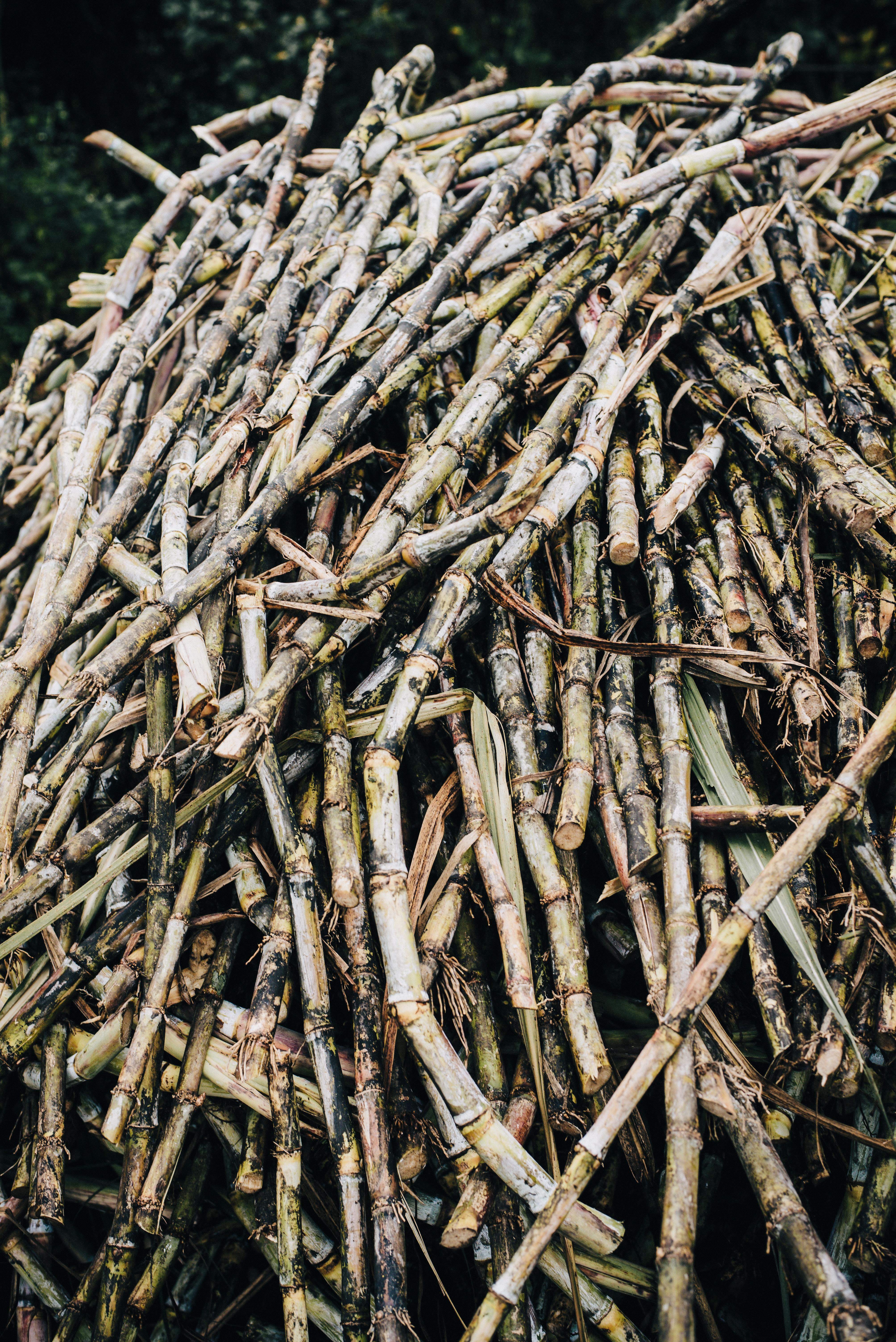 Caña de Azúcar en veracruz Agricultura 2018