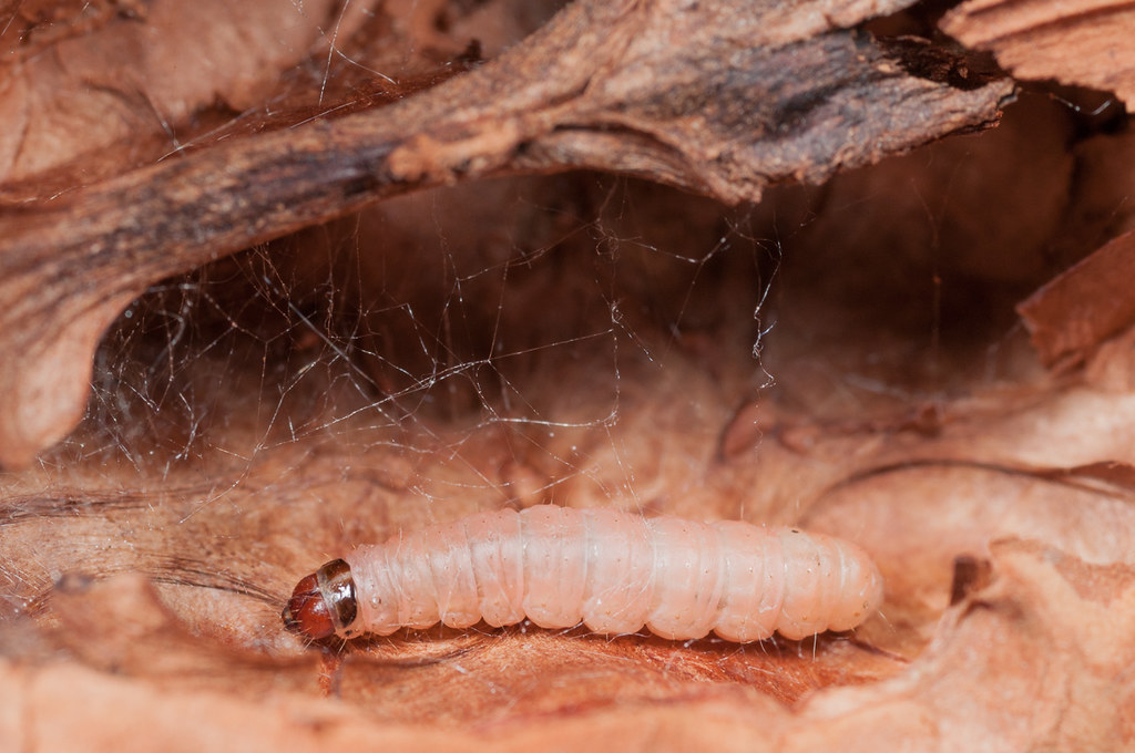 Larva de Carpocapsa (Cydia pomonella)