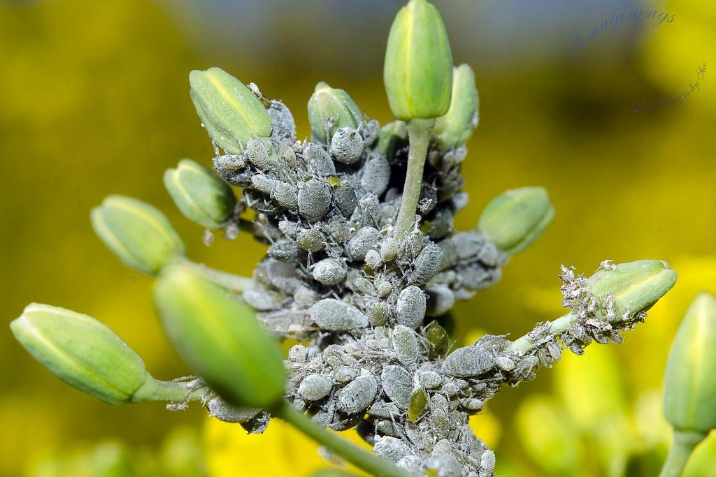 Pulgón del repollo (Brevicoryne brassicae)