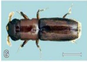 Euplatypus segnis