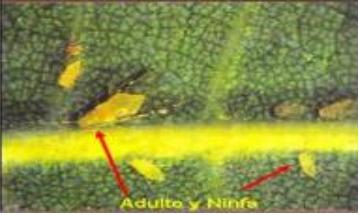 Monellia caryella y Monelliopsis pecanis