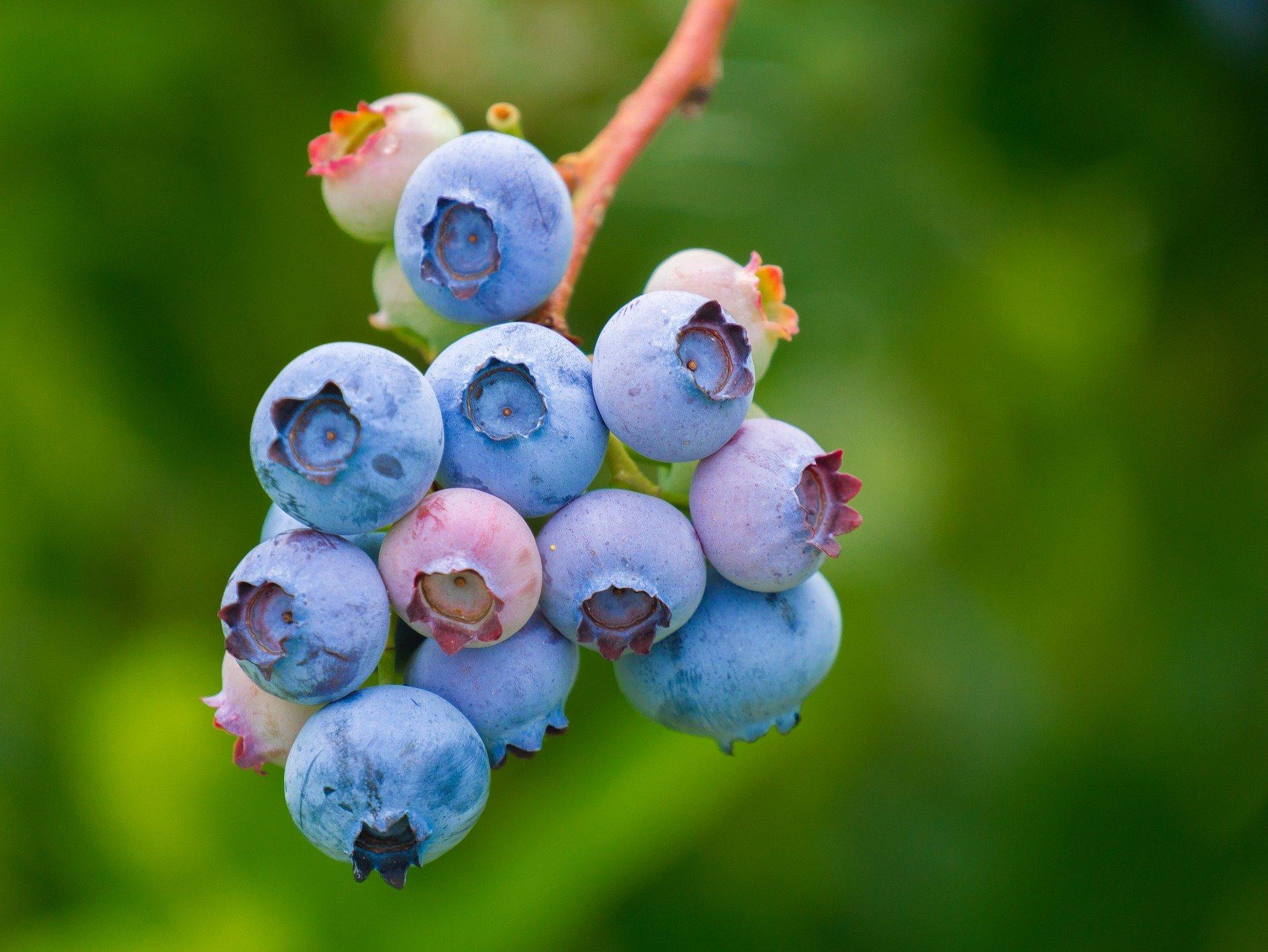 Niveles de referencia foliar en el cultivo de arándano