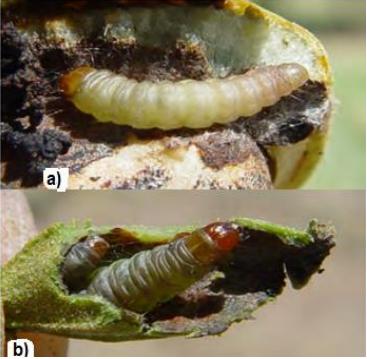 Larva de Acrobasis nuxvorella