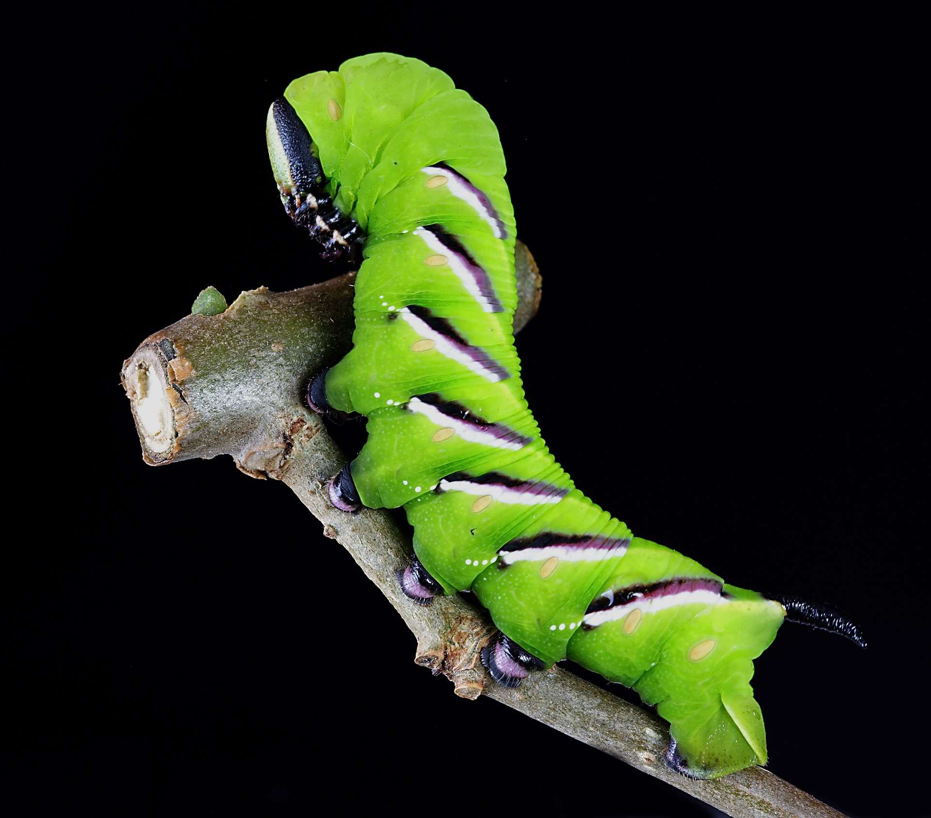 Larva de insecto del orden lepidoptera