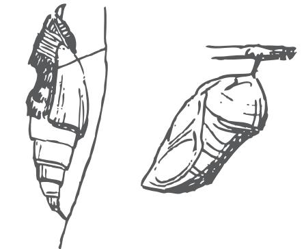 Pupa de lepidóptero