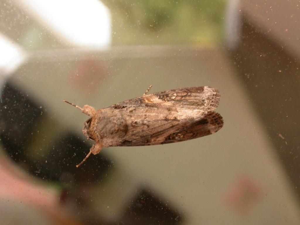 Adulto del gusano cogollero (Spodoptera frugiperda)