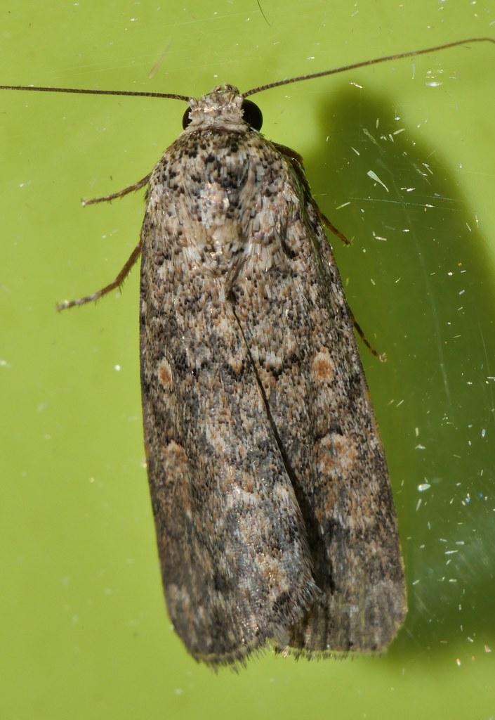 Adulto de gusano rosquilla verde (Spodoptera exigua)