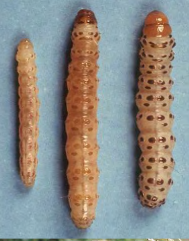 Gusano barrenador de la caña (Diatrea spp)