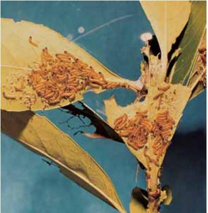 Larvas de primeros instares de Hylesia nigricans