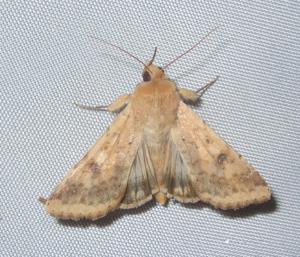 Palomilla de gusano elotero (Helicoverpa zea)