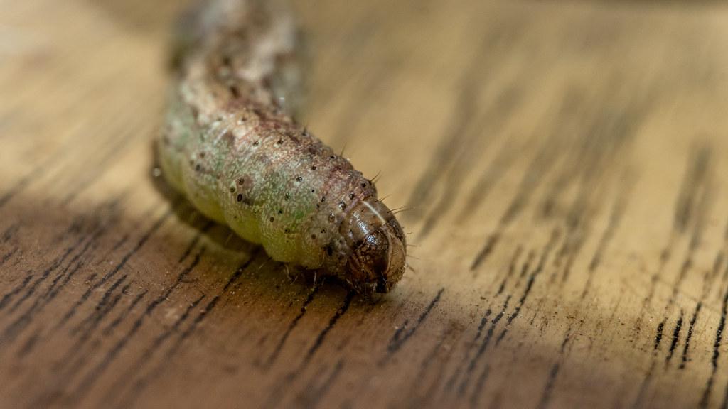 Larva de gusano cogollero (Spodoptera frugiperda)