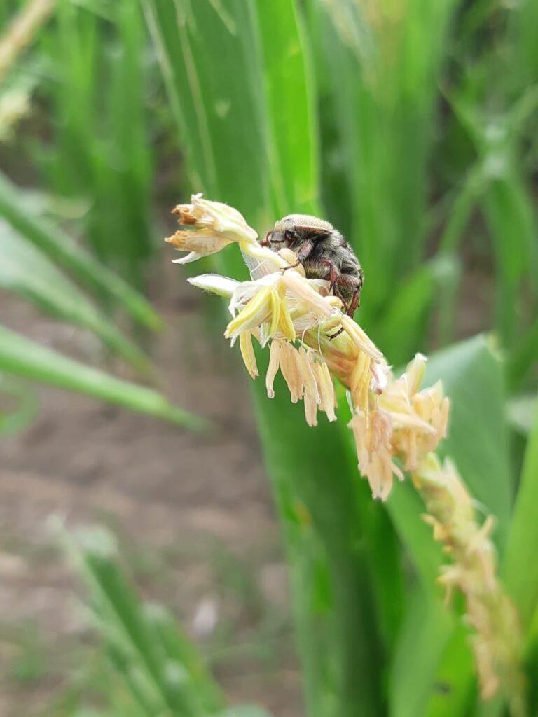Frailecillo (Macrodactylus sp)