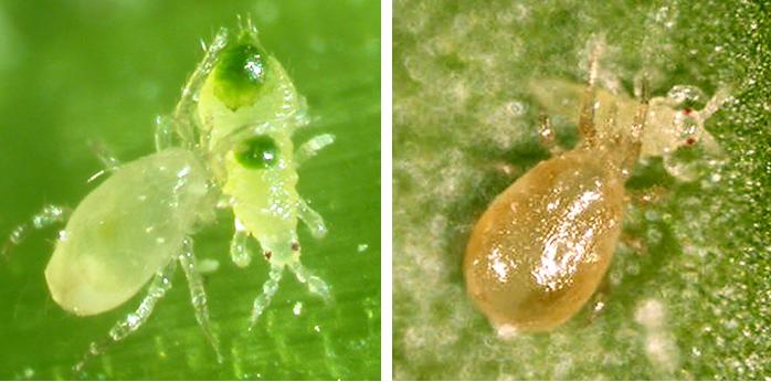 Control biológico: ácaros depredadores