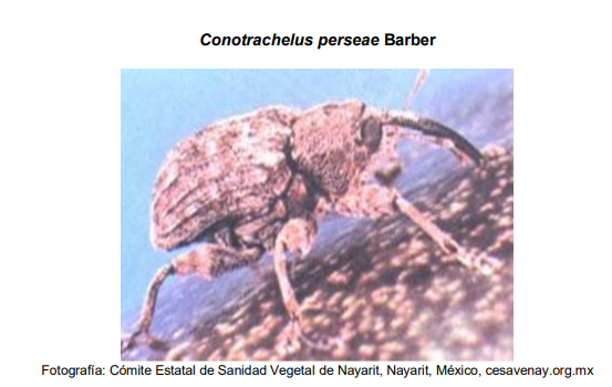 Conotrachelus persea adulto