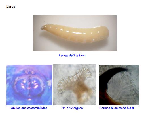Larva de la mosca del zapote