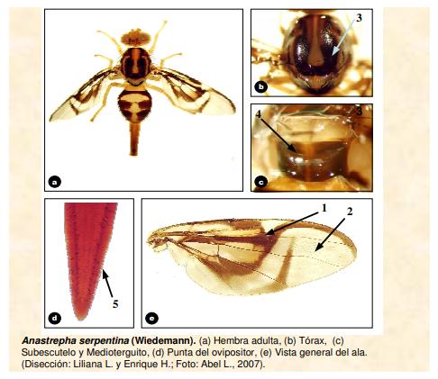 Anastrepha serpentina (Mosca de los zapotes)