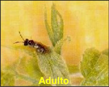Mosca sierra (Perclista marginicollis)