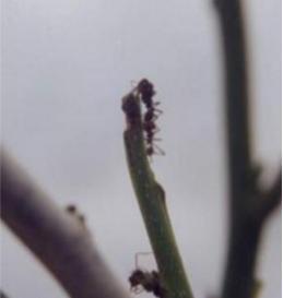 Hormiga corta hojas (Atta texana)