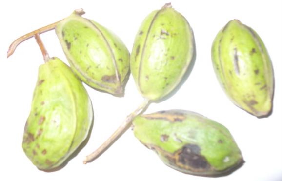 Daños del gusano barrenador del ruezno(Cydia caryana)