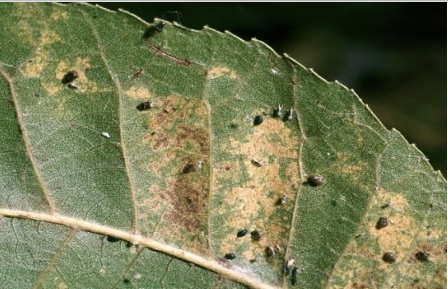Daños de pulgón negro en hojas de nogal