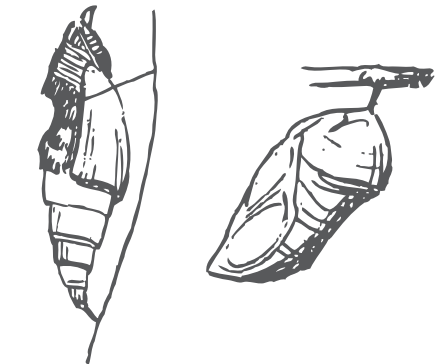 Pupa de Lepidópteros