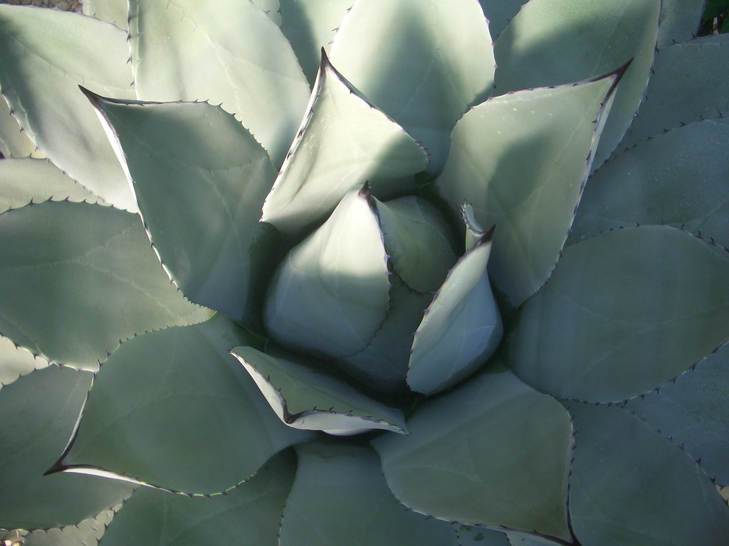 Agave tobalá (A. potatorum)